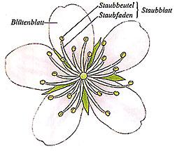 staubbeutel pflanze