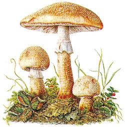 haut abziehen bei champignons