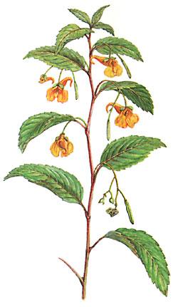 waldmeister pflanzen